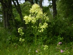 Gul Frstjerne (Thalictrum flavum)